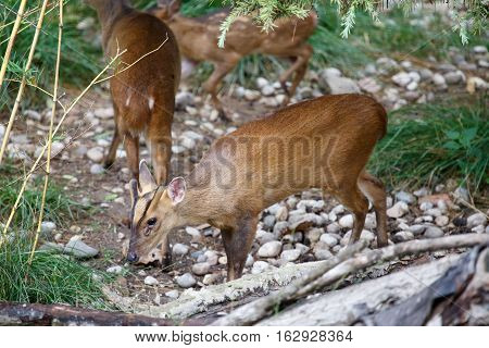 Herd Of Reeves's Muntjac Grazing