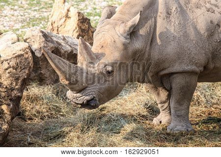 Portrait Of A White Rhinoceros
