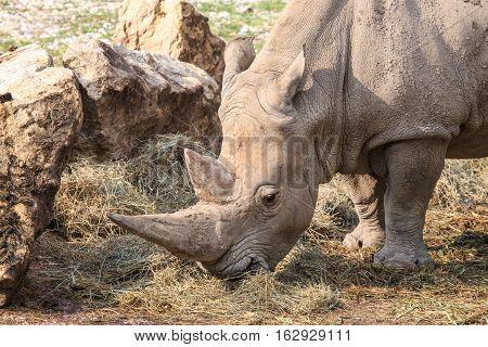 Portrait Of A White Rhinoceros Grazing