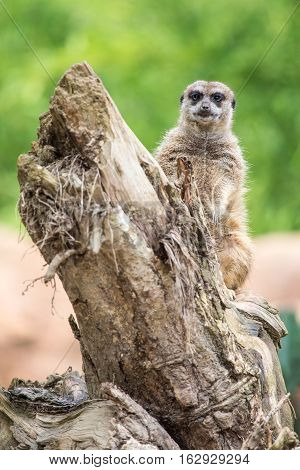 Meerkat Standing On A Log