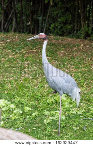The sarus crane Grus antigone is the tallest of the flying birds standing at a height of up near 2 meters. poster
