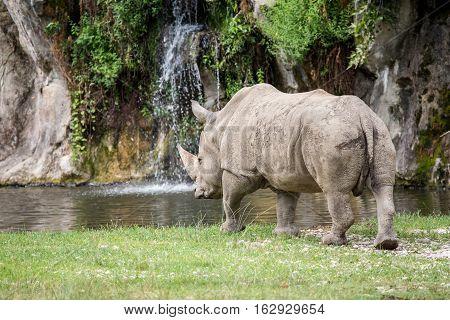 White Rhinoceros Walking Towards A Pool Of Water