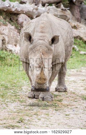White Rhinoceros Approaching