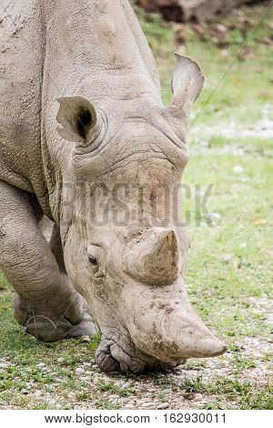 White Rhinoceros Grazing, Frontal View