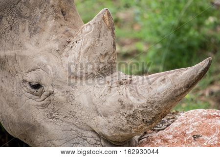 Detail Of The Prized Horns Of A White Rhinoceros