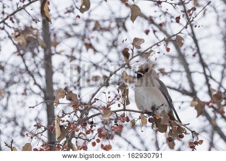 waxwing sitting on a tree branch in winter