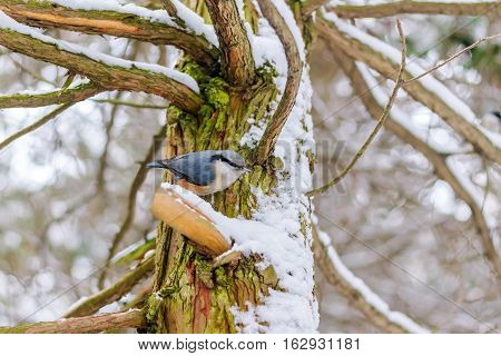 Nuthatch Sitta europaea sits on tree covered snow in winter forest