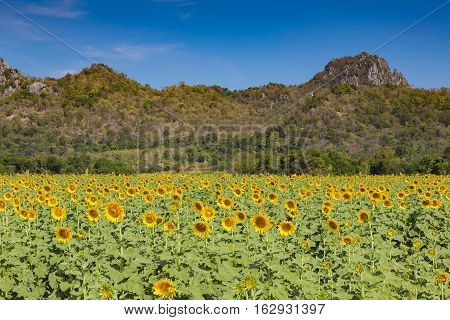 Sunflower field full bloom with mountain and clear blue sky background