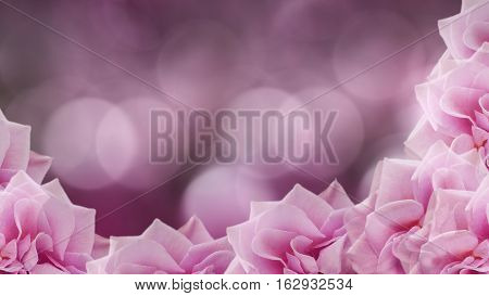 pink roses flowers on blurred purple-pink background. floral background. colored wallpaper for design. Nature.