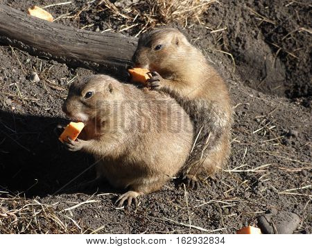 Two Prairie Dogs busy eating their lunch.