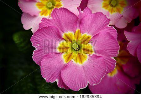 Flower. Purple primula in a public garden.