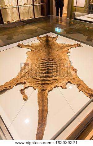 Hobart Tasmania Australia - December 24 2016: Tasmanian Tiger skin displayed in Tasmanian Museum