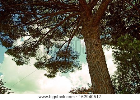 Huge old pine tree on bottom of part of lush crown on blue cloudy sky background.
