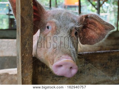 Pig face at rural pigsty, portrait of young swine.