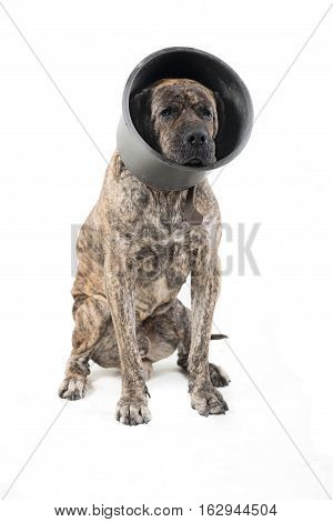 funny dog isolated on white background with healthy medicine head protection