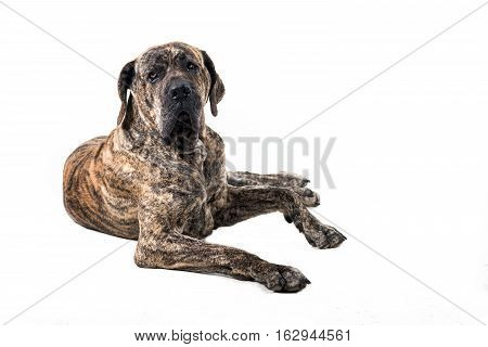 big brazilan fila dog lying in front of white background