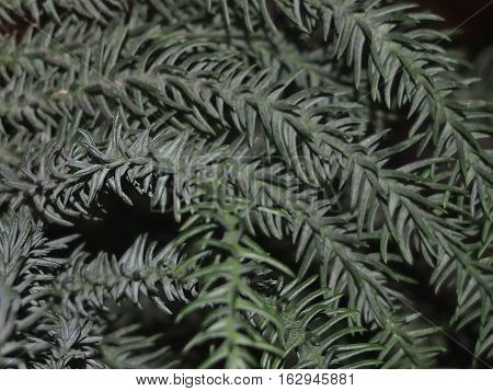 Christmas fir-tree branch with needles close up