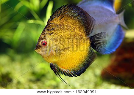 beautiful colorful discus fish in the aquarium