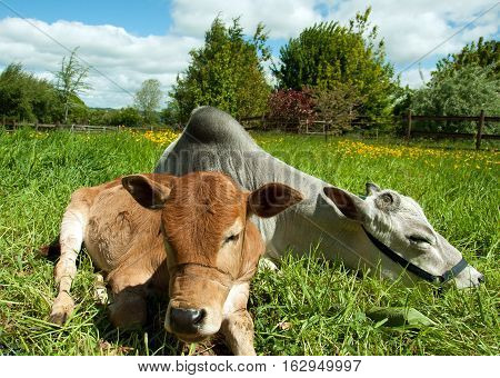 Young Cattle relaxing in the British countryside.