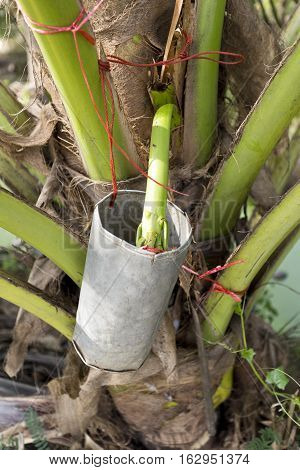 Collecting palm sap from the sugar palm Arenga pinnata or the nipa palm inflorescence to make sugar palm which is used in sweets and desserts but also in curries and sauces
