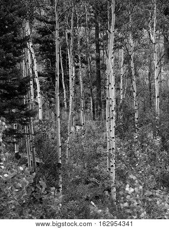 Monochrome San Juan Range Aspen Grove in Colorado