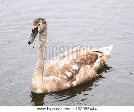 juvenile swan close up on the water