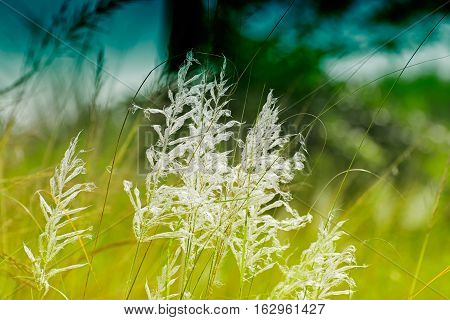 Kans grass Saccharum spontaneum dark green backgound Kolkata West Bengal India - welcoming autumn in the city.