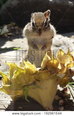 Chipmunk does workpiece on a cold winter in Siberia
