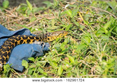 Beautiful yellow snake with black spots coming out of it's hide nature stock image shot at kolkata Calcutta West Bengal India