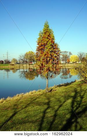 A Japanese cedar tree (Cryptomeria japonica) beside a small man-made lake in Joliet, Illinois during November.
