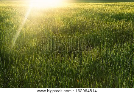 sunrise over green spring wheat spikelets at the sown field