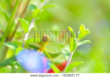 Nemophila flowers and mantis and green back.
