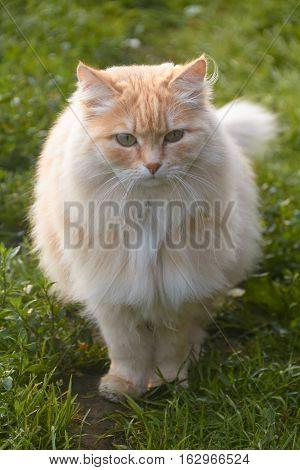 Portrait of a neighbor's cat beautiful fluffy peach summer