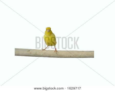 Yellow White Canary White Back