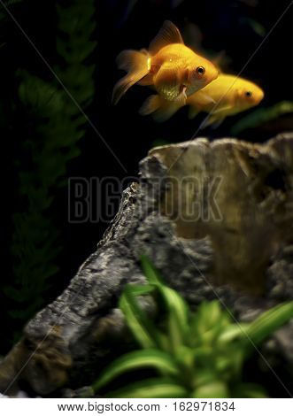 Two orange goldfishes in the a big tank.