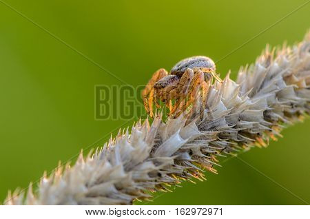 Small Hair Laterigrade Spider