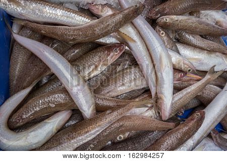 A large group of silver sillago fish being sold in the Akko market
