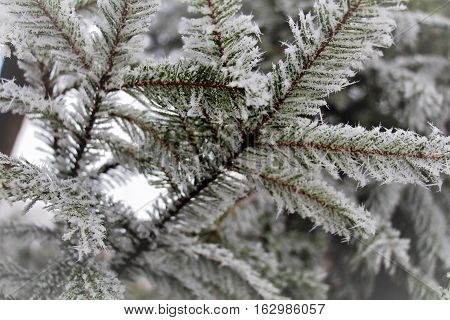 Hoarfrost on the firs. Hoarfrost covered trees and ground. In the morning and the whole day was like a fairy tale. It was a fantastic atmosphere around. The snow crunched under the feet