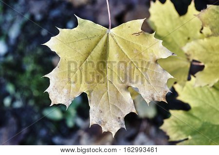Close up of the surface of a leaf in autumn in Poland
