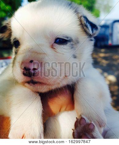 Blue merle border collie puppy white face