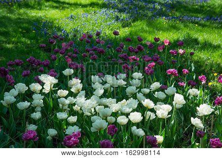 Spring flowers tulips. Arboretum. In the spring garden.