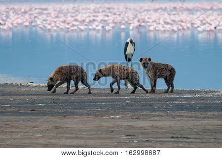 three sad hyena walking on lake shore after an unsuccessful hunt Kenya