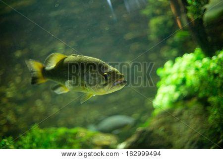 Big piranhas swimming in aquarium, close up