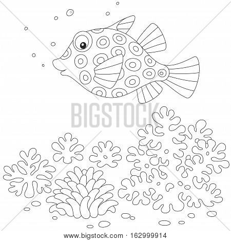Spotted boxfish swimming over corals in a tropical sea