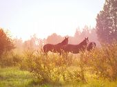 early morning outdoor horses in meadow  summer poster