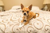A young, cute chihuahua puppy sits well-behaved on a king bed in a modern home bedroom. poster