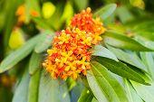 The colorful orange and yellow blooms of Saraca asoca (Saraca indica Linn Asoka; Saraca) poster