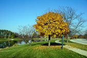Autumn foliage of a sugar maple tree (Acer saccharum) in Joliet, Illinois during November. poster