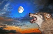 The wolf howls under the moon poster