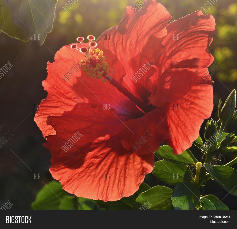 Beautiful Red Hibiscus Image Photo Free Trial Bigstock